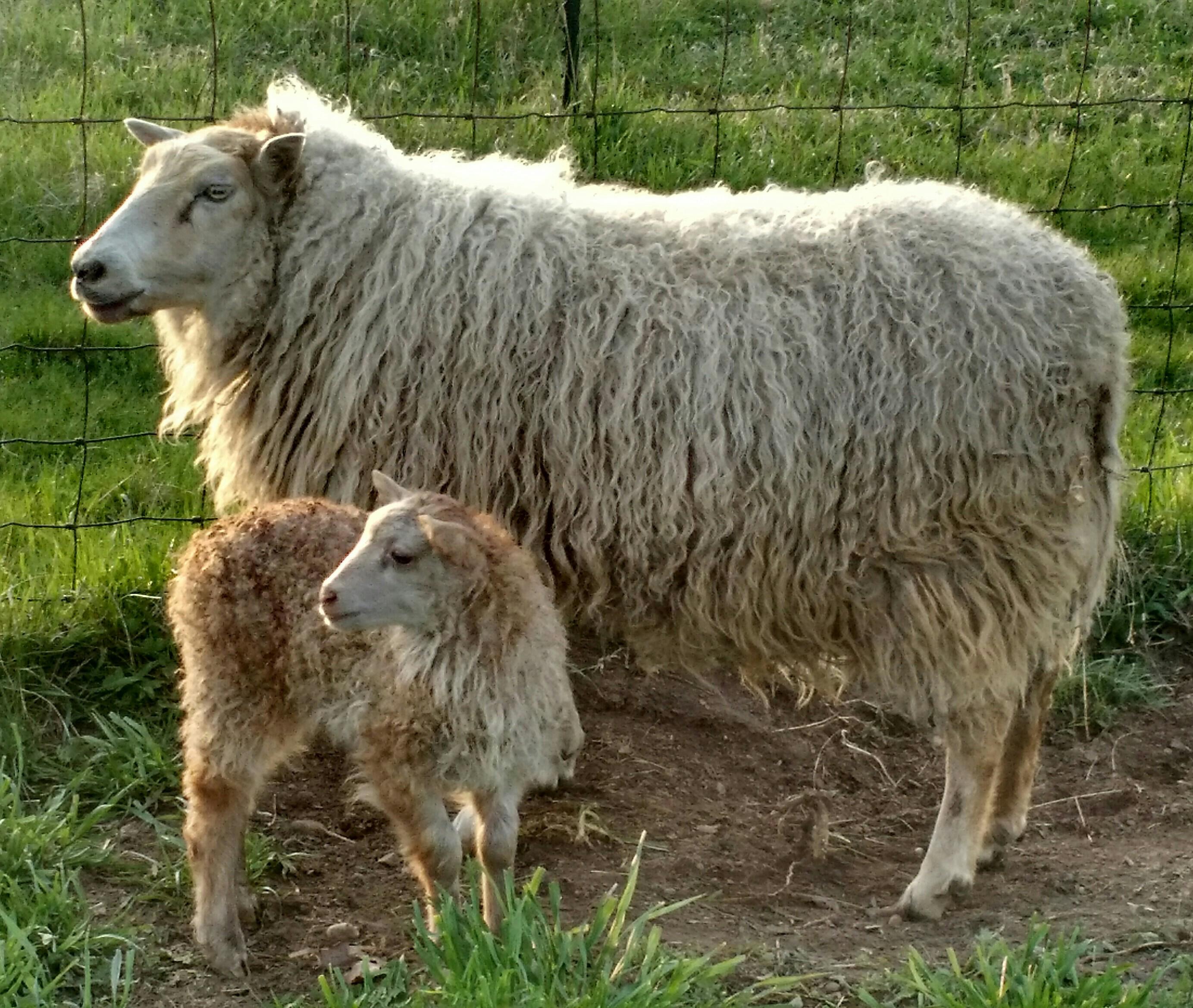 live adult ewe sheep - Rainbow End Farm